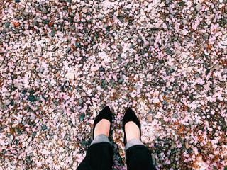 桜の絨毯の写真・画像素材[2995467]