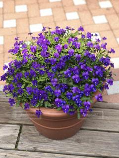 植物の紫色の花の写真・画像素材[1146626]