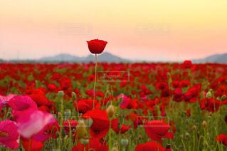 フィールドに赤い花 - No.1148370