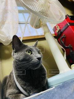 猫と扇風機の写真・画像素材[4513151]