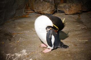 ペンギンの写真・画像素材[193457]