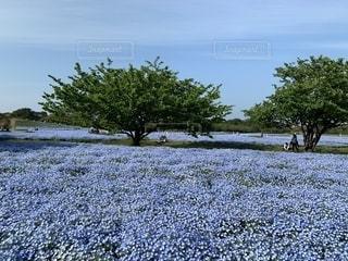 青い花畑の写真・画像素材[2210679]