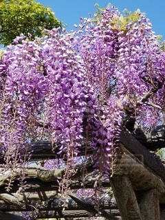 藤の花  綺麗でしょ❤の写真・画像素材[4522378]