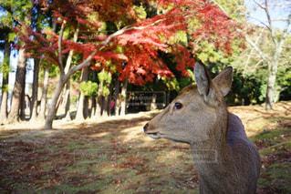 鹿と紅葉の写真・画像素材[301829]