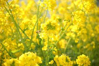 菜の花とミツバチの写真・画像素材[323925]