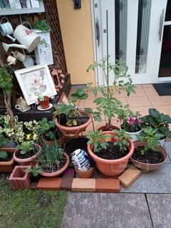 お庭で野菜の写真・画像素材[4480767]