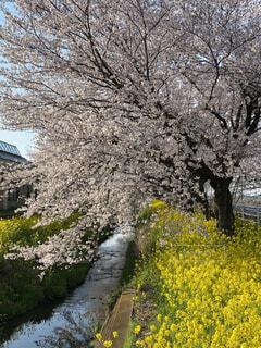 桜 菜の花の写真・画像素材[4478154]