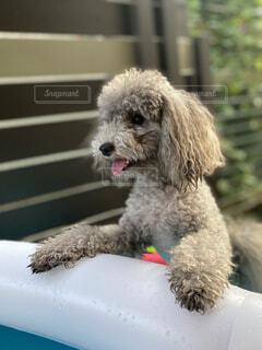 犬 夏 トイプードルの写真・画像素材[4478160]