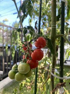 ミニトマトの写真・画像素材[4478127]