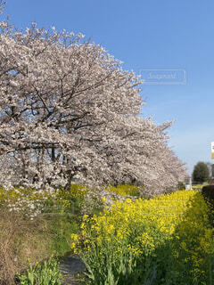 桜と菜の花の写真・画像素材[4483088]