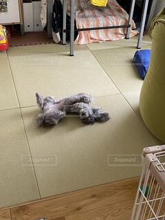 お昼寝中の犬の写真・画像素材[4505015]