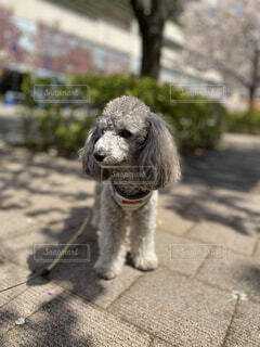 お散歩中の犬の写真・画像素材[4505018]
