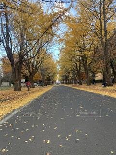 北海道のいちょう並木をお散歩の写真・画像素材[4502073]