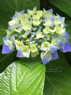 紫陽花、咲き始めました。の写真・画像素材[4480476]