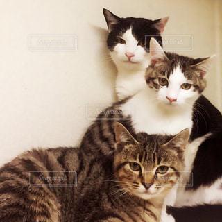 猫の写真・画像素材[196397]