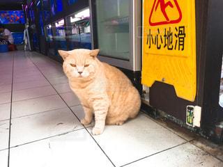 香港の金魚街で出会った看板猫の写真・画像素材[759412]