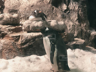 二匹のペンギンの目が可愛すぎるの写真・画像素材[4551572]