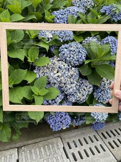 庭の紫陽花の写真・画像素材[4549761]