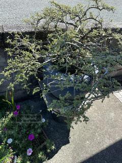 亡き父の盆栽の写真・画像素材[4825844]