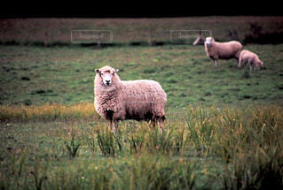 羊の写真・画像素材[199504]