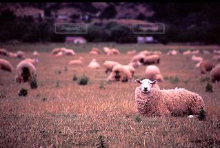 羊の写真・画像素材[199509]