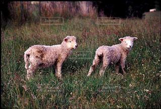 羊の写真・画像素材[199513]