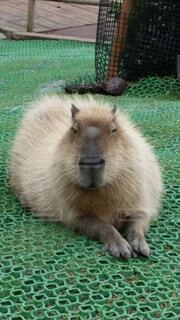 前脚を揃えて座る可愛い動物の写真・画像素材[4565218]