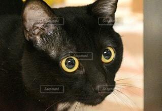 何かを狙っている猫のクローズアップの写真・画像素材[4543377]