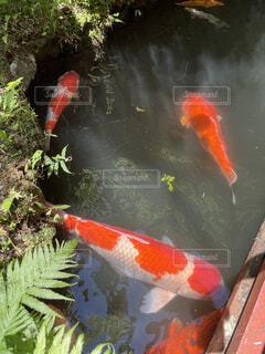 鯉の泳ぐ街の写真・画像素材[4492402]