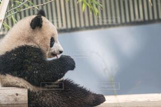 ジャイアントパンダの写真・画像素材[4512924]