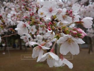 砧公園の桜の写真・画像素材[2070710]