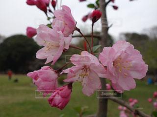 砧公園の桜の写真・画像素材[2070712]