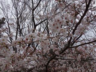 砧公園の桜の写真・画像素材[2070714]
