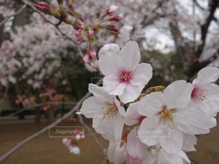 砧公園の桜の写真・画像素材[2070715]