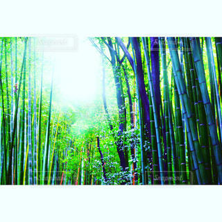 嵐山の竹林 - No.916884