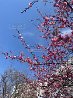梅の木の写真・画像素材[4554693]