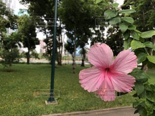 大きなピンクの傘の写真・画像素材[4562592]