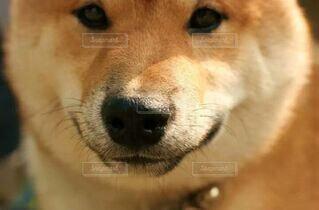 カメラ目線の犬の写真・画像素材[4499019]