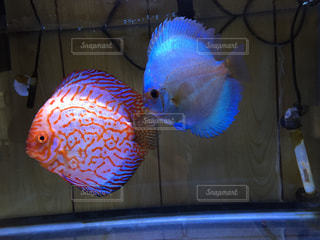 熱帯魚の写真・画像素材[198342]