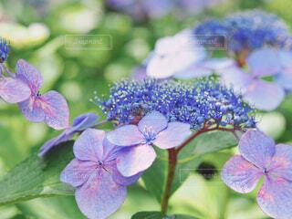 紫陽花の写真・画像素材[4505096]