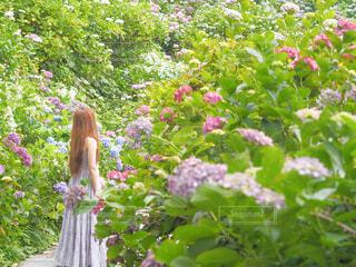 紫陽花とワンピースの写真・画像素材[4505137]