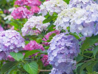 紫陽花の写真・画像素材[4529751]