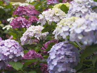 下田公園の紫陽花の写真・画像素材[4529815]