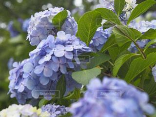 下田公園の紫陽花の写真・画像素材[4529814]