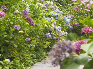 紫陽花の写真・画像素材[4529821]