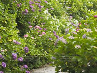 下田公園の紫陽花の写真・画像素材[4529820]
