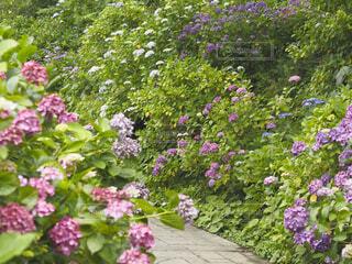 紫陽花の庭の写真・画像素材[4529818]