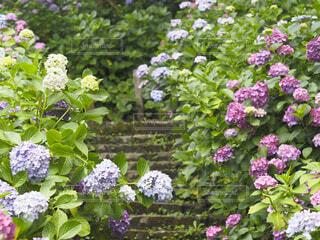 紫陽花畑の写真・画像素材[4529822]