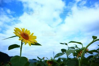 向日葵の写真・画像素材[4512438]