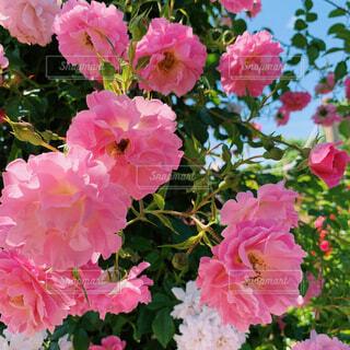 ピンクの花束のクローズアップの写真・画像素材[4507471]